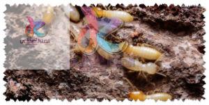 شركة مكافحة النمل الأبيض بالقصيم 0541706873